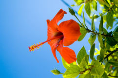 在红色天空的蓝色花 库存图片