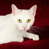 在红色天鹅绒长沙发的美丽的白色猫小猫 库存图片