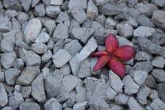在红色小卵石灰色的花 免版税库存照片