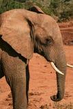 在红色尘土的年轻大象 免版税库存图片