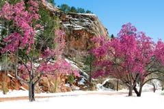 在红色岩石峡谷露天场所科罗拉多Spri的樱花树 免版税库存照片
