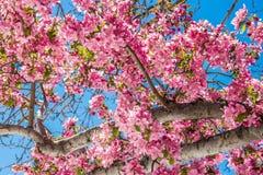 在红色岩石峡谷露天场所科罗拉多Spri的樱花树 免版税图库摄影