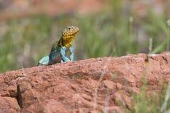 在红色岩石的东部抓住衣领口的蜥蜴 库存照片