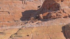 在红色岩石的山绵羊在国家公园 股票录像