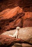 在红色岩石的金毛猎犬 图库摄影