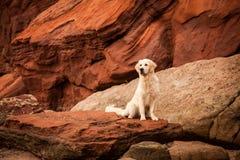 在红色岩石的金毛猎犬 免版税库存照片
