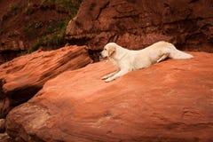 在红色岩石的金毛猎犬 库存照片