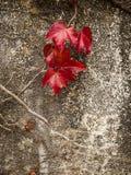 在红色常春藤叶子的秋天颜色 库存照片