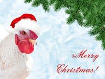 在红色帽子圣诞老人` s的白色公鸡 免版税库存图片