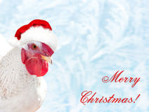在红色帽子圣诞老人` s的白色公鸡 库存照片