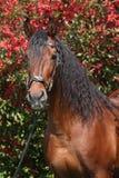 在红色开花前面的美丽的棕色安达卢西亚的公马 免版税库存照片