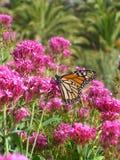 在红色拔地响的黑脉金斑蝶 免版税图库摄影