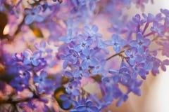 在红色日落的紫罗兰色丁香 库存照片