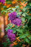 在红色日落的紫罗兰色丁香 免版税库存图片