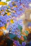 在红色日落的紫罗兰色丁香 图库摄影