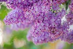 在红色日落的紫罗兰色丁香 库存图片