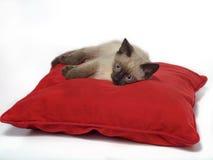 在红色枕头的暹罗小猫 免版税图库摄影