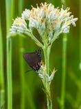 在红色根的伟大的紫色翅上有细纹的蝶 免版税库存照片