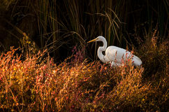 在红色橙色foilage的白色白鹭 免版税库存照片