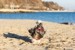 在红色毛线衣的逗人喜爱的愉快地跑在海滩的狗和丝带 免版税图库摄影
