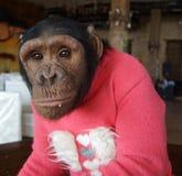 在红色毛线衣的猴子 免版税库存照片