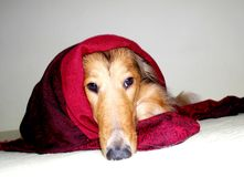 在红色毯子的狗 免版税库存图片
