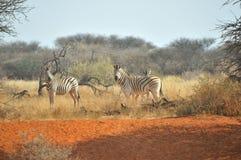 在红色沙子的斑马 免版税库存图片