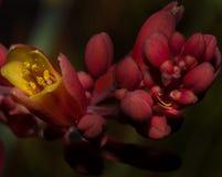 在红色沙漠灌木花内的暗藏的黄色蜘蛛 免版税库存图片