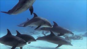 在红色海埃及摄制的海豚荚  股票录像