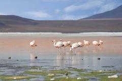 在红色湖,盐湖,玻利维亚的火鸟 库存照片