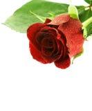 在红色玫瑰湿白色的背景 免版税图库摄影