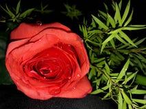 在红色玫瑰的水滴 库存照片