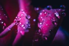 在红色玫瑰花瓣的水滴 免版税库存图片