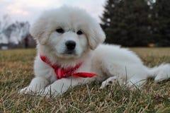 在红色班丹纳花绸的可爱的大比利牛斯小狗 库存照片