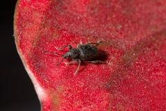 在红色瓣的甲虫 图库摄影