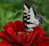 在红色百日菊属的蝴蝶 库存照片