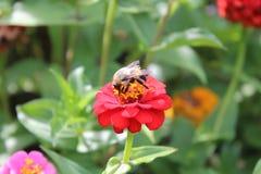 在红色百日菊属花的土蜂 免版税库存照片