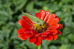 在红色百日菊属花的绿色蚂蚱 免版税库存图片