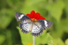在红色百日菊属花的蝴蝶 库存图片