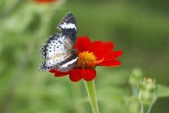 在红色百日菊属花的蝴蝶 免版税库存图片