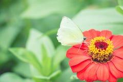 在红色百日菊属fl的美丽的白色黑脉金斑蝶哺养的糖浆 库存图片