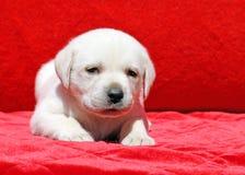 在红色的愉快的黄色拉布拉多小狗画象 免版税库存照片
