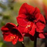 在红色的春天花 库存图片