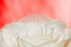 在红色的白色玫瑰 库存照片
