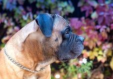 在红色的红色 一个罕见的狗品种在秋天葡萄背景的南非Boerboel的特写镜头画象离开 库存图片