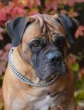 在红色的红色 一个罕见的狗品种在秋天葡萄背景的南非Boerboel的特写镜头画象离开 免版税库存图片