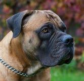 在红色的红色 一个罕见的狗品种在秋天葡萄背景的南非Boerboel的特写镜头画象离开 免版税库存照片