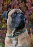 在红色的红色 一个罕见的狗品种在秋天葡萄背景的南非Boerboel的特写镜头画象离开 库存照片