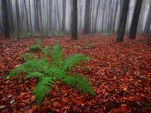 在红色的绿色蕨在一个有薄雾的秋天森林离开 库存照片
