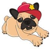 在红色盖帽的牛头犬 库存照片